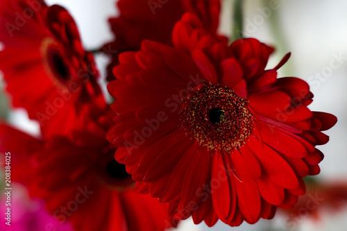 Fotobehang Gerbera Beautiful red gerbera close-up in a bouquet. Bouquet of spring gerberas of red color.