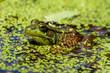 Pond Frog 1