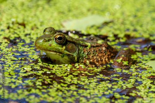 Fotobehang Kikker Pond Frog 1