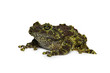 Mossy Frog on white background