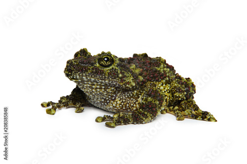 Aluminium Kikker Mossy Frog on white background