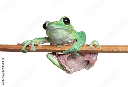 Fotobehang Kikker Green Frog on white background