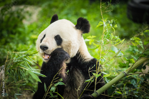 Plexiglas Panda Panda Bear eating bamboo shoot