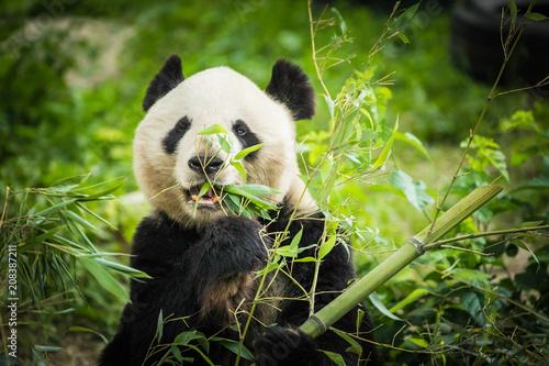 Fotobehang Panda Panda Bear eating bamboo shoot