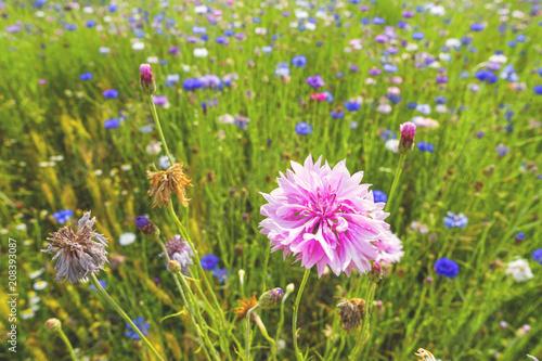 Leinwanddruck Bild campo di fiori selvatici papaveri e fiordalisi