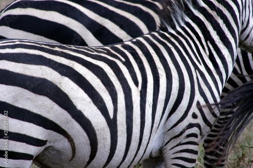 Naklejka Zebra's Stripes