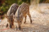 wild boars graze on nature - 208403250