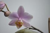 orchid phalaenopsis violet