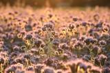 Lacy phacelia (Phacelia tanacetifolia) in the field at dawn - 208411453
