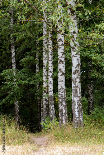 Birches in the forest.