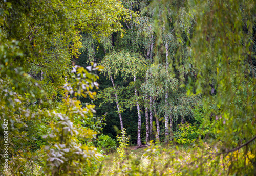 Birches in the forest. - 208412427