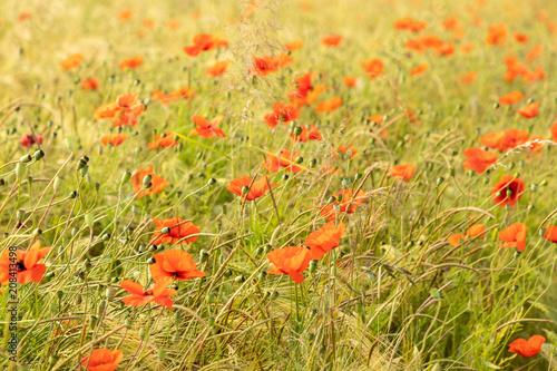 Fotobehang Oranje red poppy flower field