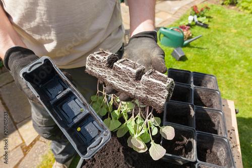 Aluminium Brussel Gardener re-potting Brussels sprouts plants