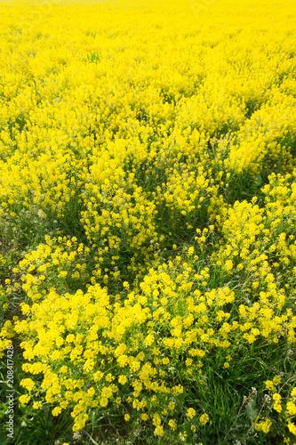Plexiglas Geel field of rapeseed - plant for green energy