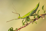 Jungle Nymph Stick Insect (Heteropteryx dilatata)/Malaysian Stick Insect on leafy branch - 208419260