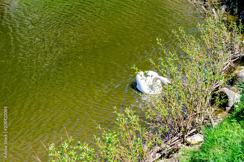 Aluminium Zwaan Bird Swan, white color swimming on the lake in a park. On summer sunny day.