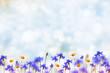 Leinwanddruck Bild - Field cornflower blue flowers against the background of the summer landscape.
