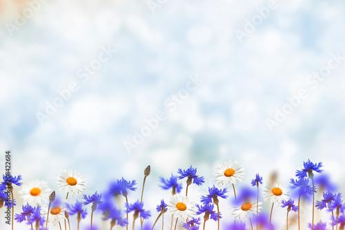 Leinwanddruck Bild Field cornflower blue flowers against the background of the summer landscape.