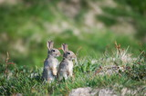 Cute Standing Rabbits in Scotland in Spring