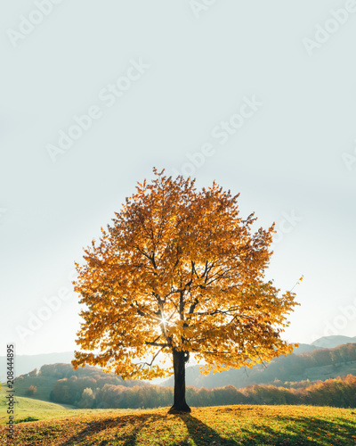 Majestic beech tree with sunny beams at mountain valley. Dramatic colorful evening scene. Carpathians, Ukraine, Europe. - 208444895