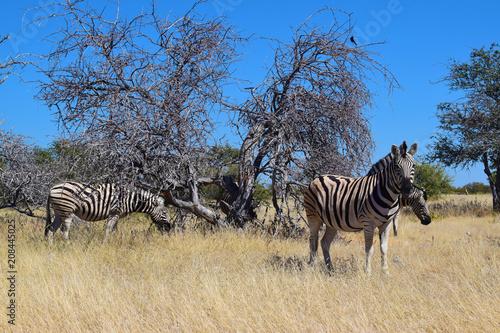Zebras in a wild environment