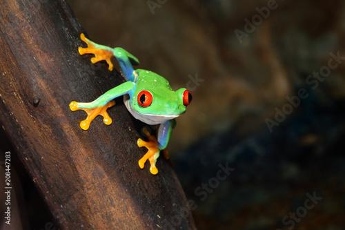 Fotobehang Kikker red-eye frog Agalychnis callidryas in terrarium