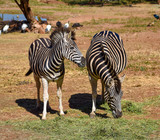 Two African black and white zebras grazing peacefully