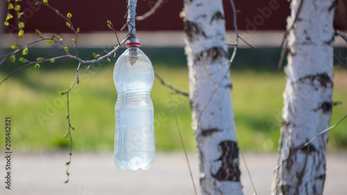 Collection of birch sap in a plastic bottle - 208462821