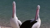A medium shot of two pelicans and ocean at the background - 208467242