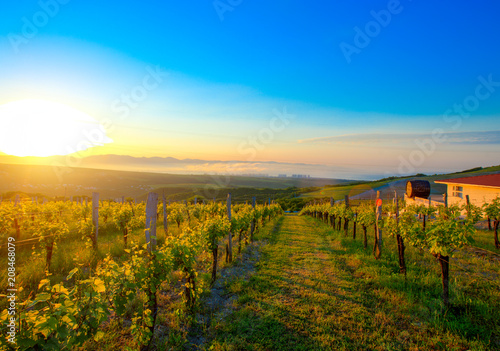 Fotobehang Wijngaard Vineyard with young grapes in the morning sun