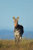 Cape mountain zebra (Equus zebra) in grassland, Mountain Zebra National Park, South Africa. - 208471699