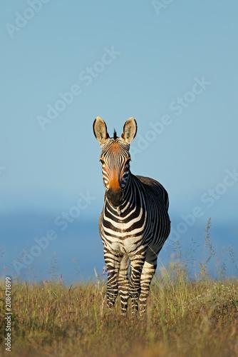 Cape mountain zebra (Equus zebra) in grassland, Mountain Zebra National Park, South Africa.