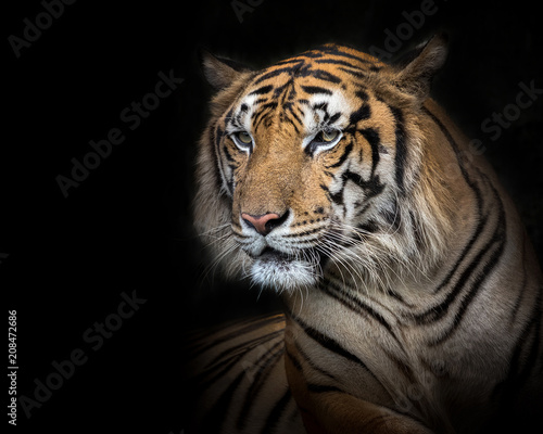 Aluminium Tijger Sumatran tiger male on a black background.