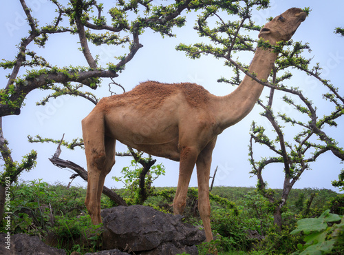 Canvas Kameel camel in middle of green mountain of Salalah oman