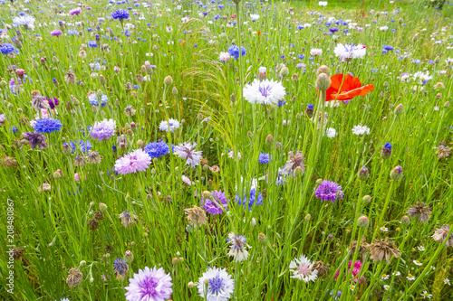 Leinwanddruck Bild fiordalisi colorati prato di fiori selvatici di stagione sfondo floreale