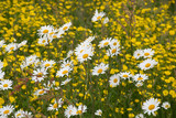 Large group of wild daisies with buttercups behind - 208482227