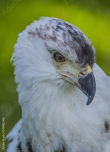 Plexiglas Eagle Eagle - Close-up