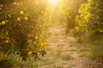 Orange garden with ripening orange fruits on the trees with green leaves and sun shining, natural and food background