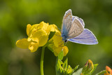 Butterfly Blue on a yellow flower.