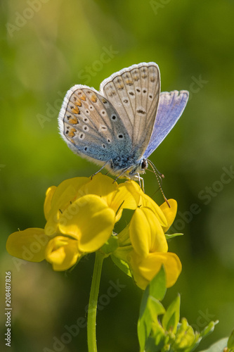 Fotobehang Vlinder Butterfly Blue on a yellow flower.