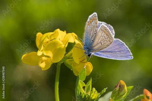 Fotobehang Vlinder Butterfly Blue on a yellow flower.