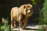 Lion on a sunny afternoon at the reserve in South Africe - 208489477