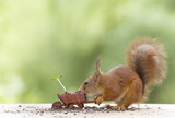 red squirrel with an wheelbarrow with sunflower plant - 208490088