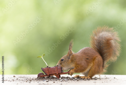 red squirrel with an wheelbarrow with sunflower plant