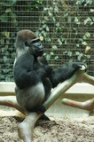 Gorilla in the park - 208490661