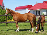 Thoroughbred mare and foal standing in paddock  - 208492864