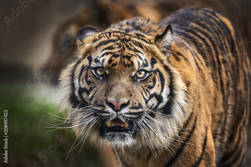 Poster Tiger front view staring and looking straight ahead