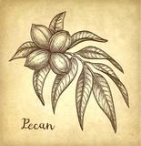 Pecan ink sketch - 208503684