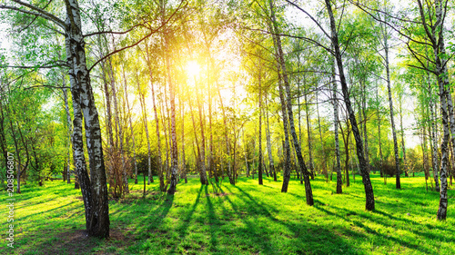 Fotobehang Zwavel geel Birch trees in forest at sunset. Beautiful nature landscape panorama.
