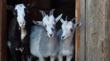 group of black and white goats - 208510445